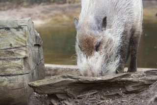 copia-di-bearded_pig_mgzoom